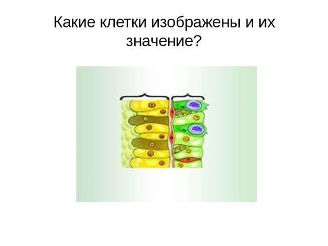 Какие клетки изображены и их значение?