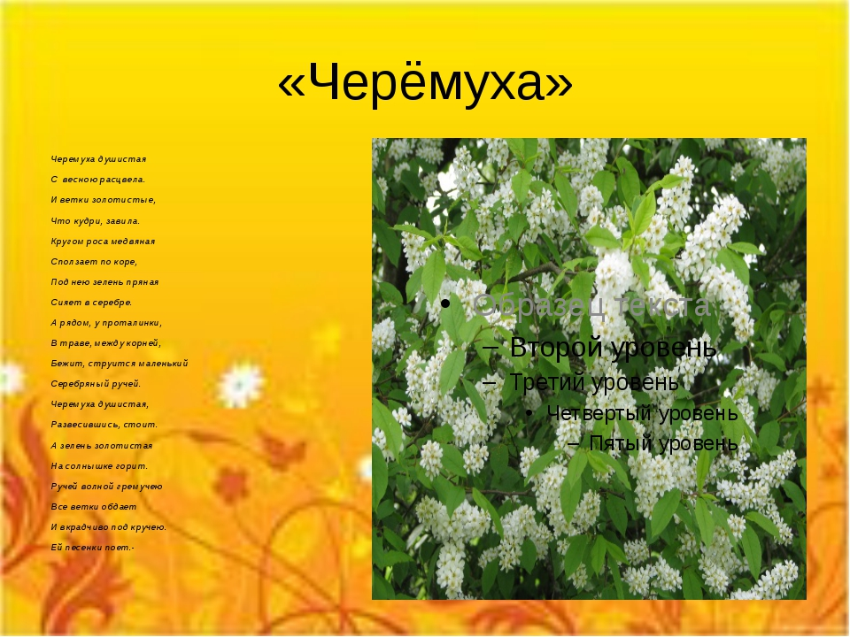 «Черёмуха» Черемуха душистая С весною расцвела. И ветки золотистые, Что кудри...