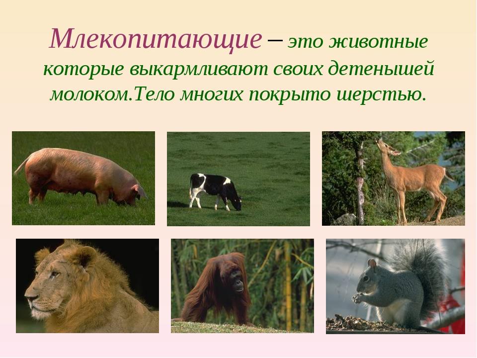 Млекопитающие – это животные которые выкармливают своих детенышей молоком.Тел...