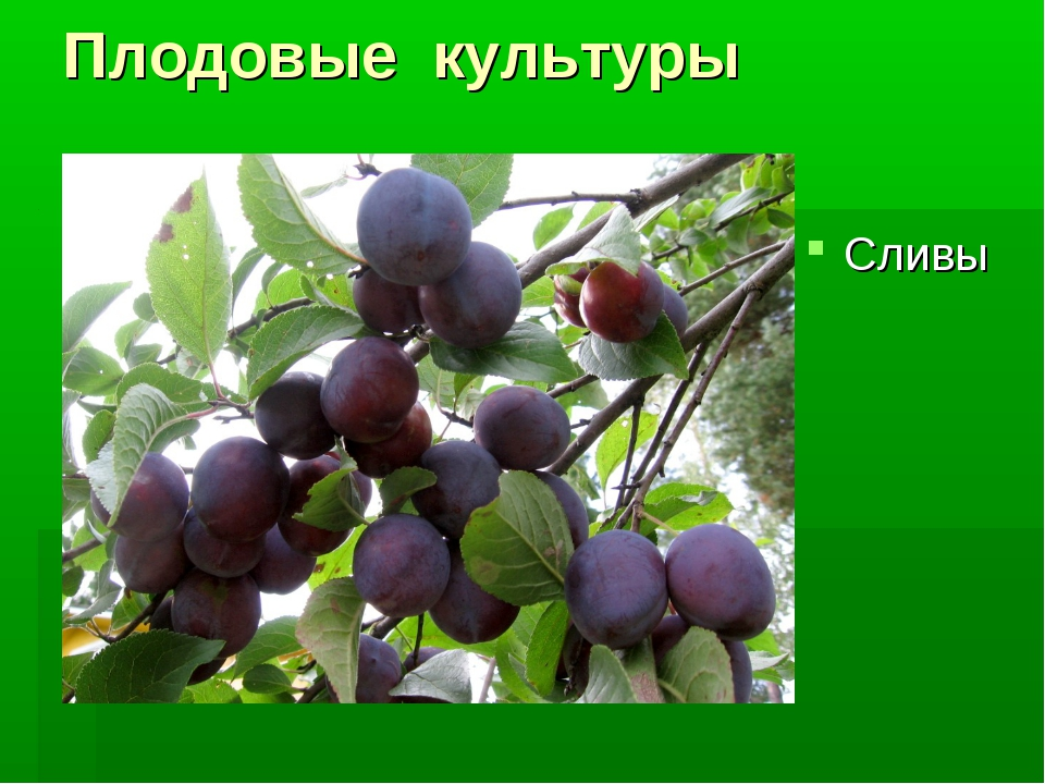 Плодовые культуры Сливы