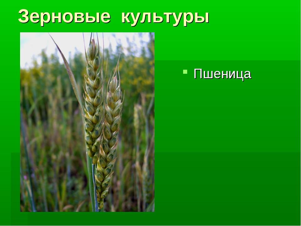 Зерновые культуры Пшеница