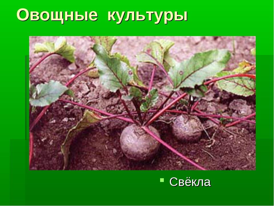 Овощные культуры Свёкла