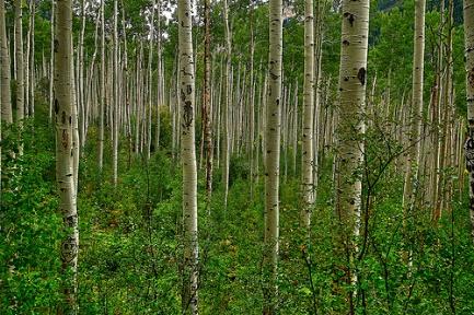 осины, природа, деревья, лес - (картинка, изображение, фото, обои 550961)