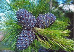 https://upload.wikimedia.org/wikipedia/commons/thumb/b/be/Pinus_sibirica_Urals1.jpg/250px-Pinus_sibirica_Urals1.jpg