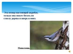 Эта птица настоящий акробат, только она может бегать по стволу дерева и ввер