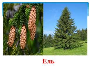 1 конкурс «Узнай дерево» Я знакома всем с детства. Вместе со мной под Новый г