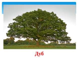 В Древней Греции это дерево было посвящёно Зевсу и Гераклу. Оно является сим