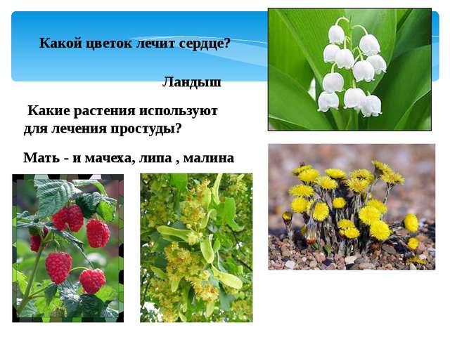 Какой цветок лечит сердце? Ландыш Какие растения используют для лечения прост...