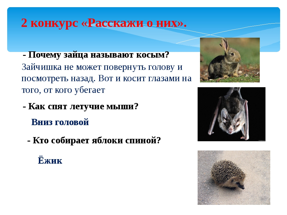 2 конкурс «Расскажи о них». - Почему зайца называют косым? Зайчишка не может...