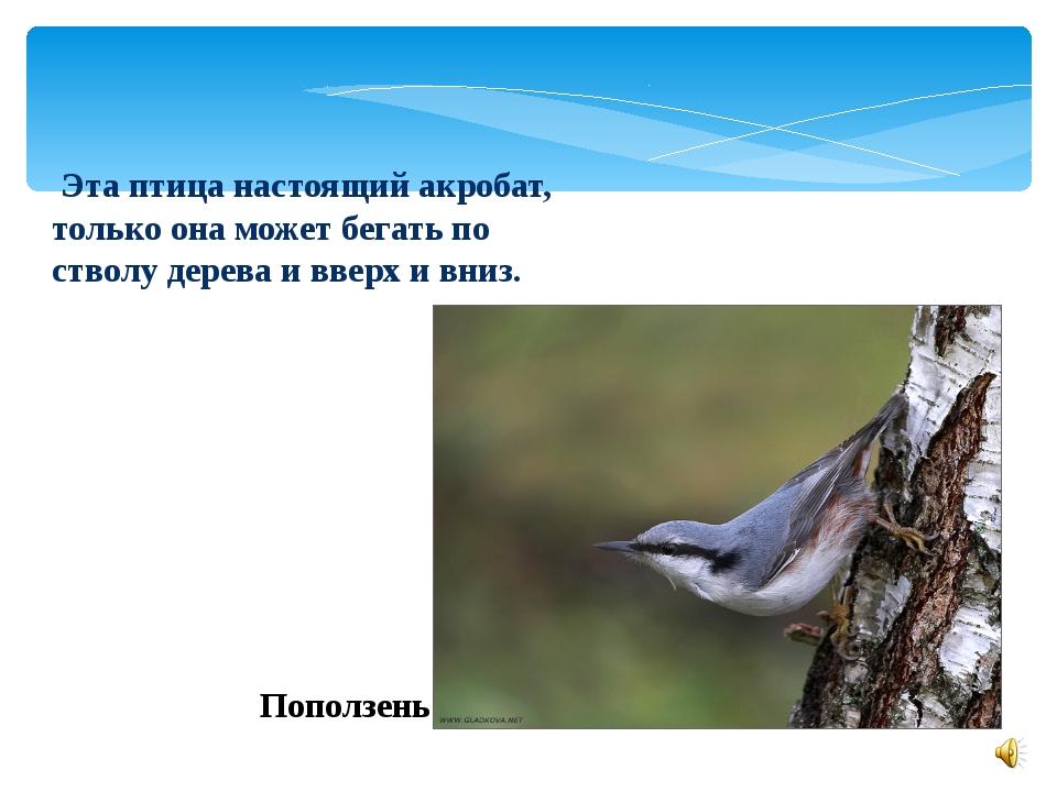 Эта птица настоящий акробат, только она может бегать по стволу дерева и ввер...