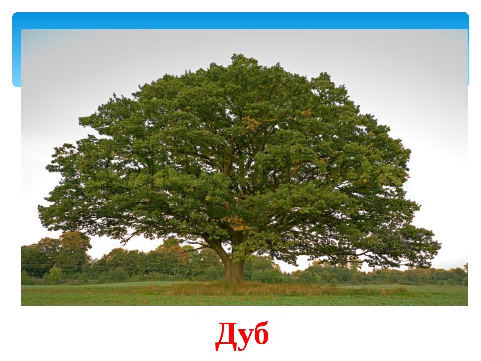 В Древней Греции это дерево было посвящёно Зевсу и Гераклу. Оно является сим...