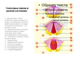 Голосовые связки в разном состоянии: I–при разговоре, пении голосовые связ