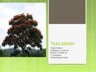 Чудо дерево Подготовила ученица 4 а класса МОБУ СОШ № 36 г. Таганрога Перепел
