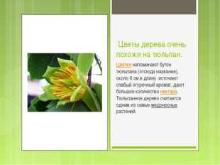 Цветы дерева очень похожи на тюльпан. Цветки напоминают бутон тюльпана (отсю
