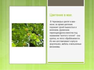 Цветение в мае. В Черноморье цветет в мае - июне, во время цветения поражает
