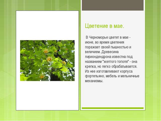 Цветение в мае. В Черноморье цветет в мае - июне, во время цветения поражает...
