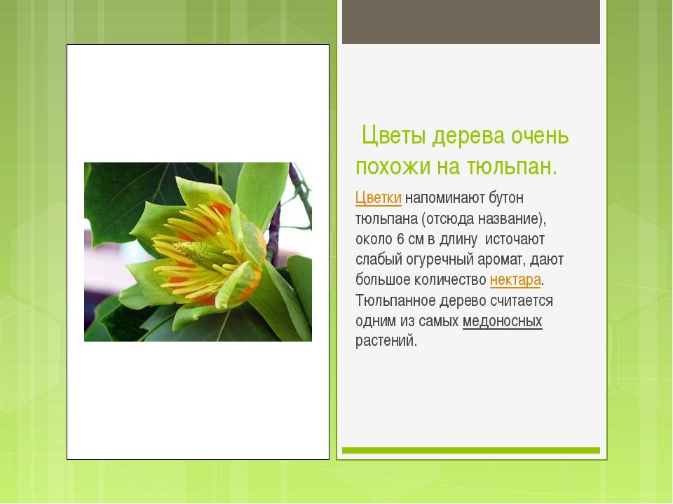 Цветы дерева очень похожи на тюльпан. Цветки напоминают бутон тюльпана (отсю...
