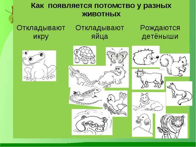 Как появляется потомство у разных животных Откладывают икруОткладывают яйца...