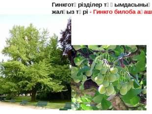 Гинкготәрізділер тұқымдасының жалғыз түрі - Гинкго билоба ағашы