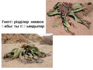Гнеттәрізділер немесе қабықты тұқымдылар