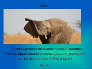 Слон Самое крупное наземное млекопитающее. Самец африканского слона средних р