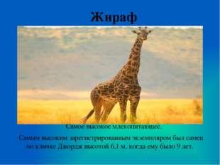 Жираф Самое высокое млекопитающее. Самым высоким зарегистрированным экземпляр