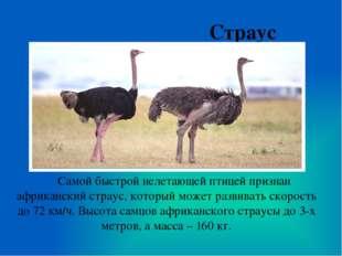 Страус Самой быстрой нелетающей птицей признан африканский страус, который мо