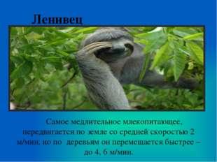 Ленивец Самое медлительное млекопитающее, передвигается по земле со средней с