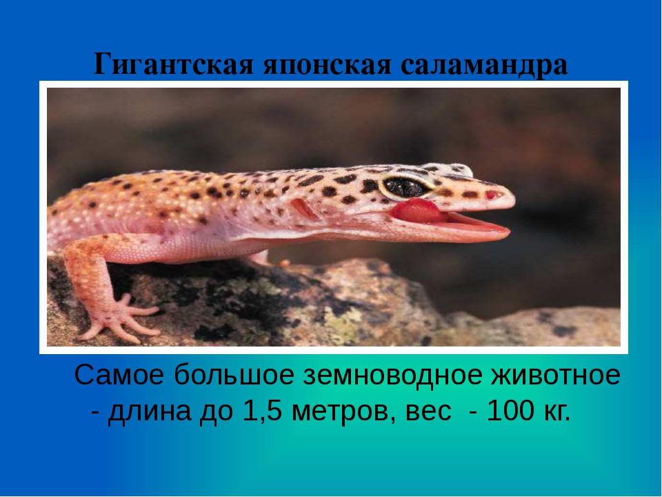 Гигантская японская саламандра Самое большое земноводное животное - длина до...
