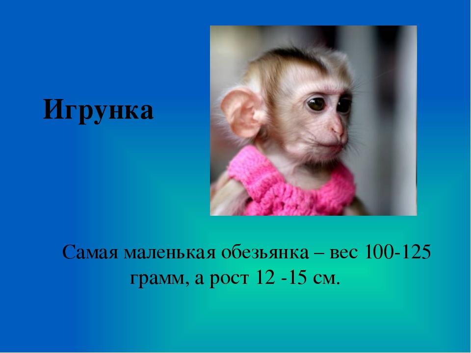 Игрунка Самая маленькая обезьянка – вес 100-125 грамм, а рост 12 -15 см.
