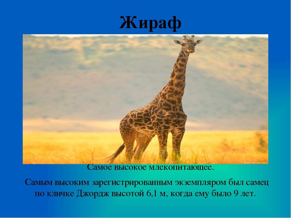 Жираф Самое высокое млекопитающее. Самым высоким зарегистрированным экземпляр...