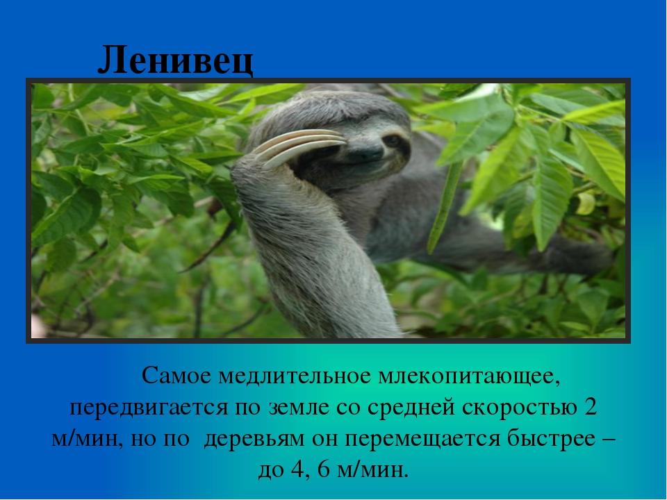 Ленивец Самое медлительное млекопитающее, передвигается по земле со средней с...