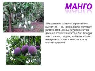 Вечнозелёное манговое дерево имеет высоту 10 — 45, крона дерева достигает рад