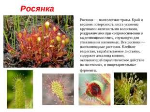 Росянка Росянки — многолетние травы. Край и верхняя поверхность листа усажены