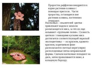 Насекомых - опылителей цветки привлекают видом и запахом разлагающегося мяса,