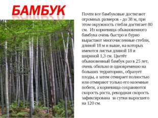 Почти все бамбуковые достигают огромных размеров - до 38 м, при этом окружнос
