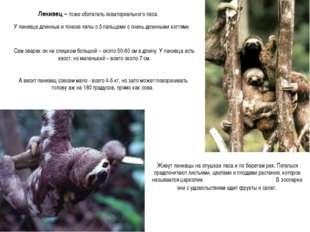 Ленивец – тоже обитатель экваториального леса. У ленивца длинные и тонкие лап