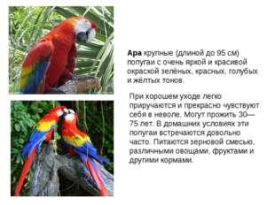 Ара крупные (длиной до 95 см) попугаи с очень яркой и красивой окраской зелён