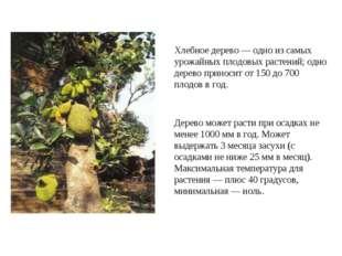 Хлебное дерево — одно из самых урожайных плодовых растений; одно дерево прино
