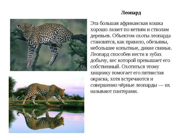 Эта большая африканская кошка хорошо лазает по ветвям и стволам деревьев. Объ...