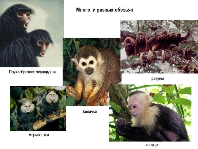 Много и разных обезьян
