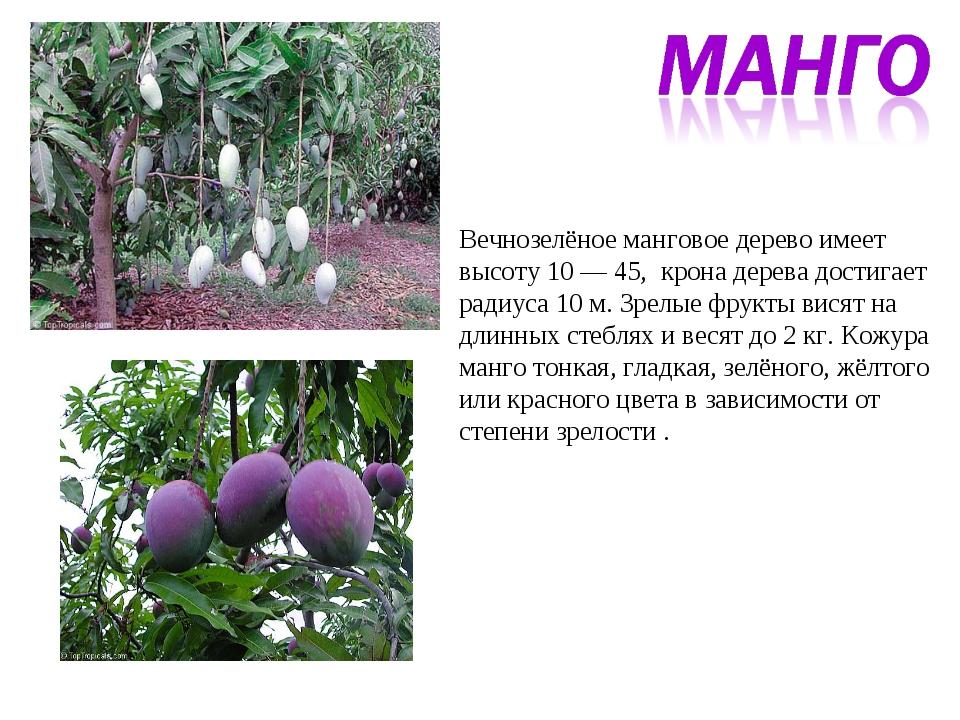 Вечнозелёное манговое дерево имеет высоту 10 — 45, крона дерева достигает рад...