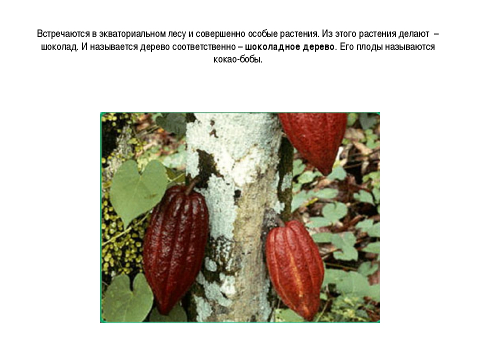 Встречаются в экваториальном лесу и совершенно особые растения. Из этого раст...