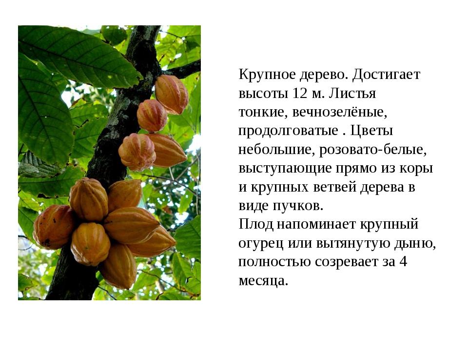 Крупное дерево. Достигает высоты 12 м. Листья тонкие, вечнозелёные, продолгов...