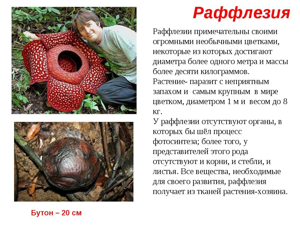 Раффлезия Бутон – 20 см Раффлезии примечательны своими огромными необычными ц...