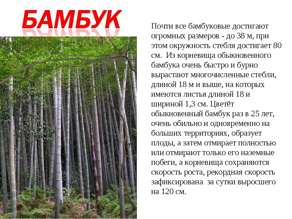 Почти все бамбуковые достигают огромных размеров - до 38 м, при этом окружнос...
