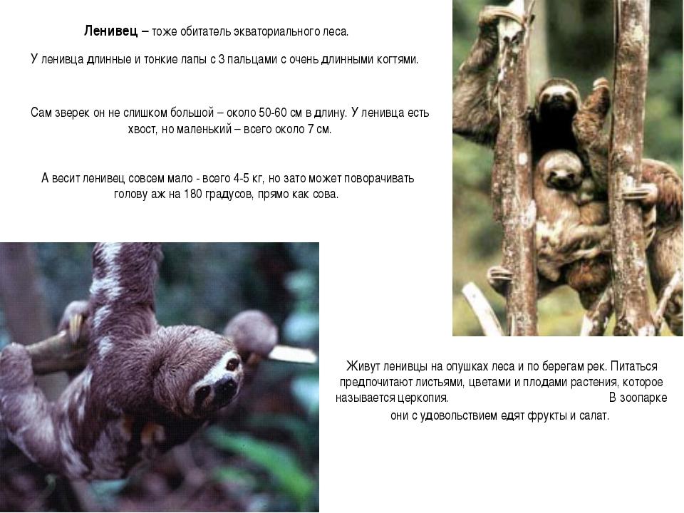 Ленивец – тоже обитатель экваториального леса. У ленивца длинные и тонкие лап...