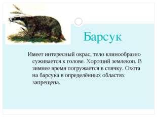 Барсук Имеет интересный окрас, тело клинообразно суживается к голове. Хороший