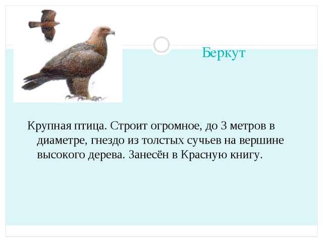 Беркут Крупная птица. Строит огромное, до 3 метров в диаметре, гнездо из толс...