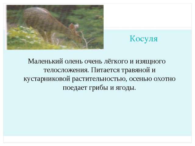 Косуля Маленький олень очень лёгкого и изящного телосложения. Питается травян...